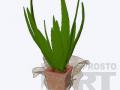 flora42